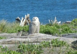 A snow owl spotted in Ocean Shores.